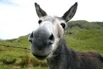 mule-donkey-jackass-600x400